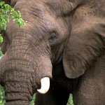 فيل  Elephant 2 Size:81.90 Kb Dim: 800 x 533