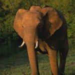 فيل  Elephant 6 Size:22.60 Kb Dim: 333 x 500