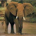 فيل  Elephant 7 Size:44.50 Kb Dim: 500 x 375