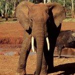 فيل  Elephant 12 Size:55.60 Kb Dim: 600 x 450