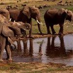 فيل  Elephant 13 Size:45.40 Kb Dim: 600 x 450