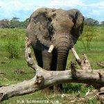 فيل  Elephant 4 Size:63.20 Kb Dim: 600 x 455