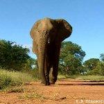 فيل  Elephant 6 Size:57.20 Kb Dim: 600 x 456