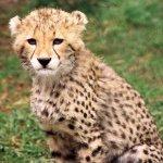 فهد leopard