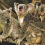 كوالا koala Size:189.90 Kb Dim: 1024 x 768