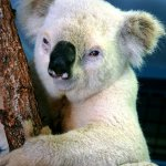 كوالا koala Size:79.80 Kb Dim: 468 x 602