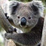 كوالا koala Size:21.90 Kb Dim: 470 x 332
