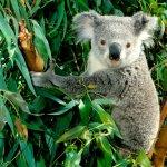 كوالا koala Size:252.30 Kb Dim: 1024 x 768