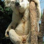 كوالا koala Size:140.00 Kb Dim: 353 x 500