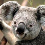 كوالا koala Size:49.10 Kb Dim: 468 x 311