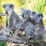 كوالا koala Size:203.70 Kb Dim: 1024 x 768