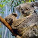 كوالا koala Size:158.60 Kb Dim: 1024 x 768