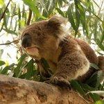 كوالا koala Size:194.20 Kb Dim: 1024 x 768