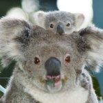 كوالا koala Size:192.10 Kb Dim: 508 x 390