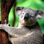 كوالا koala Size:113.10 Kb Dim: 1024 x 768