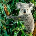 كوالا koala Size:398.00 Kb Dim: 1600 x 1200