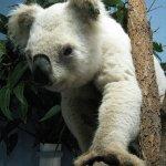 كوالا koala Size:143.50 Kb Dim: 399 x 500