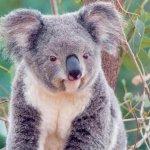 كوالا koala Size:127.60 Kb Dim: 1024 x 768