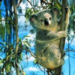 كوالا koala Size:160.90 Kb Dim: 1024 x 768