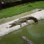 تماسيح ، تمساح Size:570.30 Kb Dim: 1600 x 1200