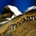 تماسيح ، تمساح Size:256.00 Kb Dim: 1600 x 1200