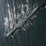 تماسيح ، تمساح Size:377.40 Kb Dim: 1600 x 1200