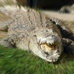 تماسيح ، تمساح Size:476.00 Kb Dim: 1600 x 1200