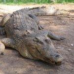 تماسيح ، تمساح Size:246.30 Kb Dim: 1024 x 768