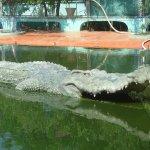 تماسيح ، تمساح Size:394.50 Kb Dim: 1600 x 1200