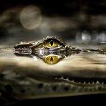 تماسيح ، تمساح Size:264.50 Kb Dim: 1600 x 1200