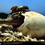 تماسيح ، تمساح Size:147.40 Kb Dim: 1024 x 768