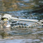 تماسيح ، تمساح Size:1111.90 Kb Dim: 1600 x 1200