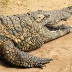 تماسيح ، تمساح Size:1181.60 Kb Dim: 1024 x 768
