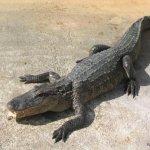 تماسيح ، تمساح Size:132.40 Kb Dim: 1024 x 768