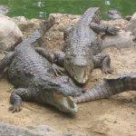 تماسيح ، تمساح Size:821.90 Kb Dim: 1600 x 1200
