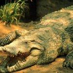 تماسيح ، تمساح Size:289.20 Kb Dim: 1024 x 768