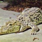 تماسيح ، تمساح Size:122.20 Kb Dim: 1024 x 768