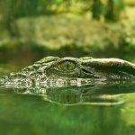 تماسيح ، تمساح Size:177.20 Kb Dim: 1024 x 768