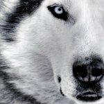 ذئب ، ذئاب  Size:328.80 Kb Dim: 1600 x 1200