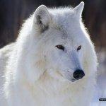 ذئب ، ذئاب  Size:273.70 Kb Dim: 1600 x 1200