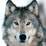ذئب ، ذئاب  Size:309.60 Kb Dim: 1600 x 1200