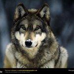 ذئب ، ذئاب  Size:133.80 Kb Dim: 1024 x 768