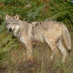 ذئب ، ذئاب  Size:592.50 Kb Dim: 1600 x 1200