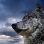 ذئب ، ذئاب  Size:373.60 Kb Dim: 1600 x 1200
