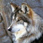ذئب ، ذئاب  Size:418.90 Kb Dim: 1600 x 1200