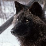 ذئب ، ذئاب  Size:319.20 Kb Dim: 1600 x 1200