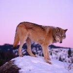 ذئب ، ذئاب  Size:226.70 Kb Dim: 1600 x 1200