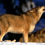 ذئب ، ذئاب  Size:288.00 Kb Dim: 1600 x 1200