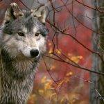 ذئب ، ذئاب  Size:287.00 Kb Dim: 1600 x 1200
