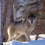 ذئب ، ذئاب  Size:277.60 Kb Dim: 1600 x 1200